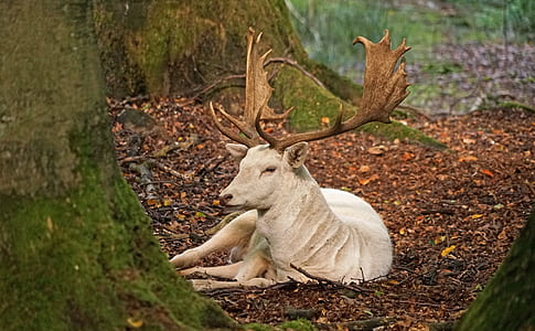 white deer sitting on brown leaves