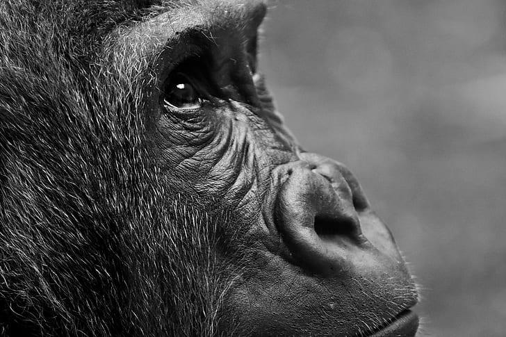 close-up photography of gorilla