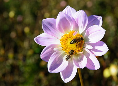 two bees on pink petaled flower