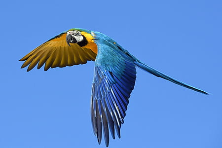 blue and yellow macaw bird flying during daytime