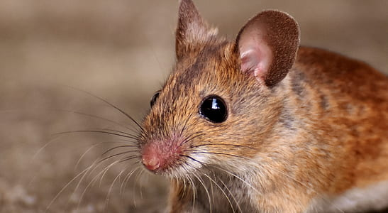 closeup photo of brown mouse