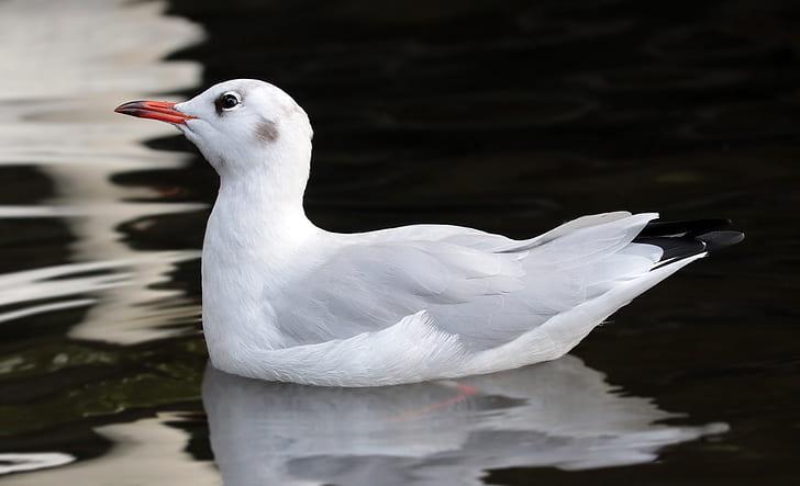 black-billed gull on body of water