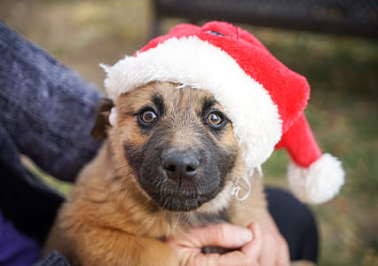 brown dog with red Santa hat