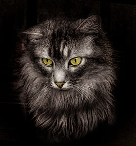 black short-fur cat
