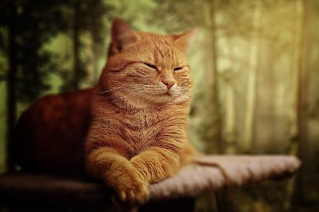 reclining orange tabby cat