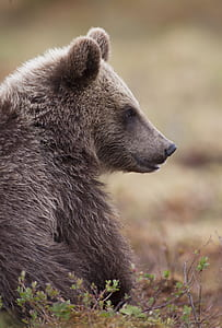 photo of grizzly bear