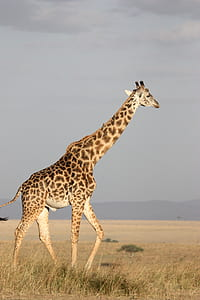 giraffe on withered grass