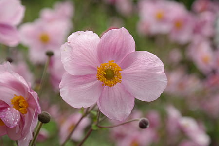 selective focus photography of pink anemone flower