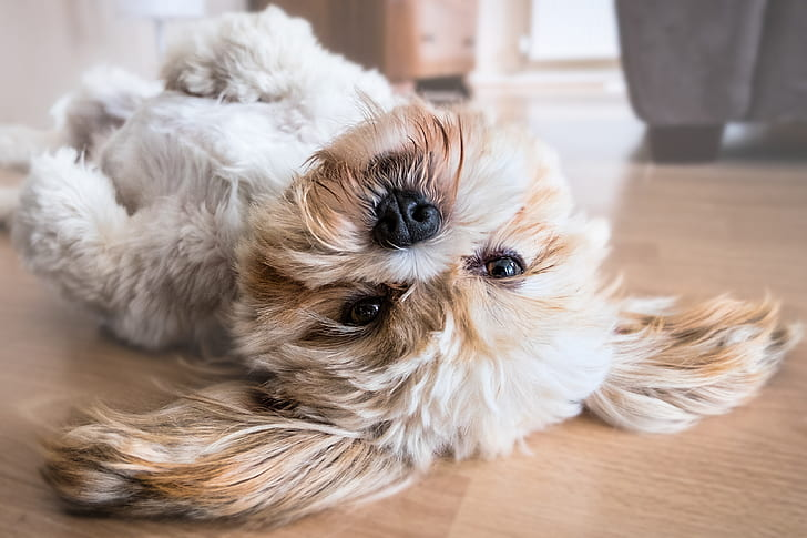 Royalty Free Photo Adult White And Tan Shih Tzu Lying Down On Floor