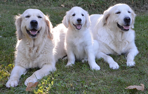 two golden retriever dogs beside puppy on grass field