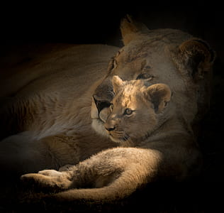 lioness and cub vignette photography