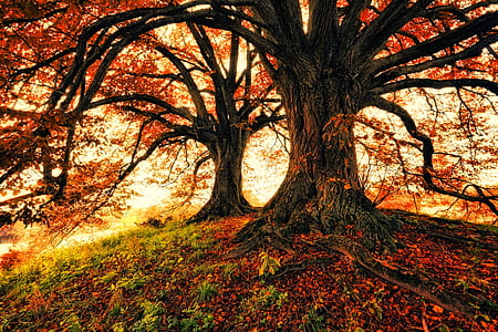 two maple trees photo