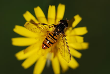 close up photography of hover fly on yellow flower