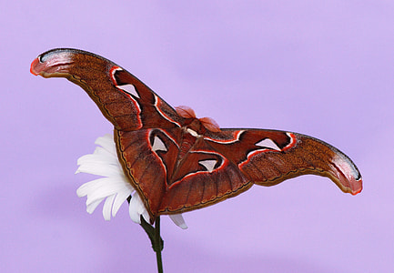 clsoe-up photography of cecropia moth on white petaled flower