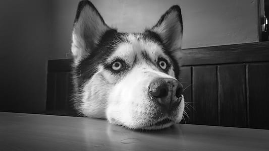 adult Siberian husky on grayscale photo