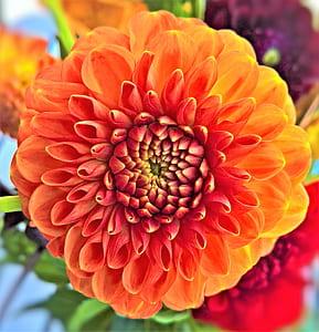 orange dahlia flower in bloom close up photo
