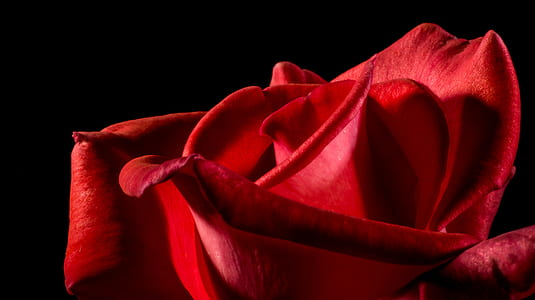 macro photograph of red rose