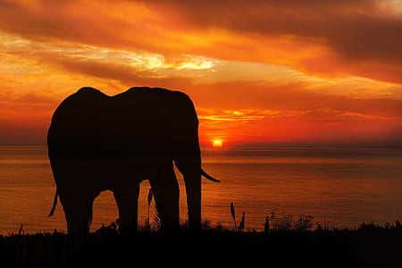 silhouette of elephant on grass during sunset