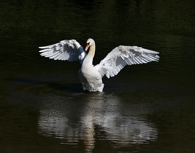 white swan on lake