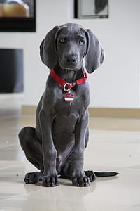 blue Labrador retriever