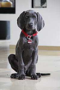 blue Labrador retriever