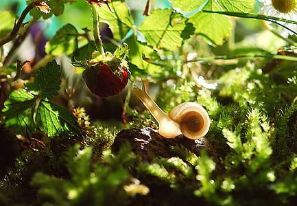 beige snail near red strawberry