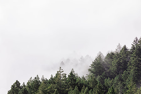 landscape photo of pine trees