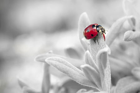 selective color photography of ladybird on flower