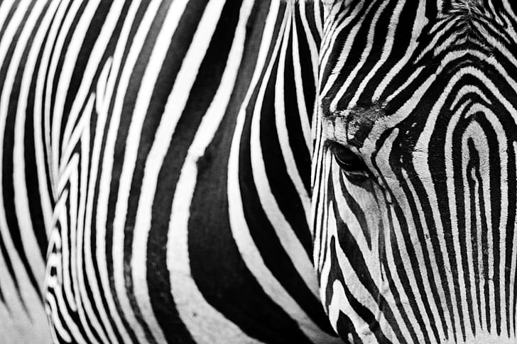 zebra in-close up photography