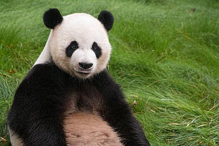 panda sitting on green grass during daytime