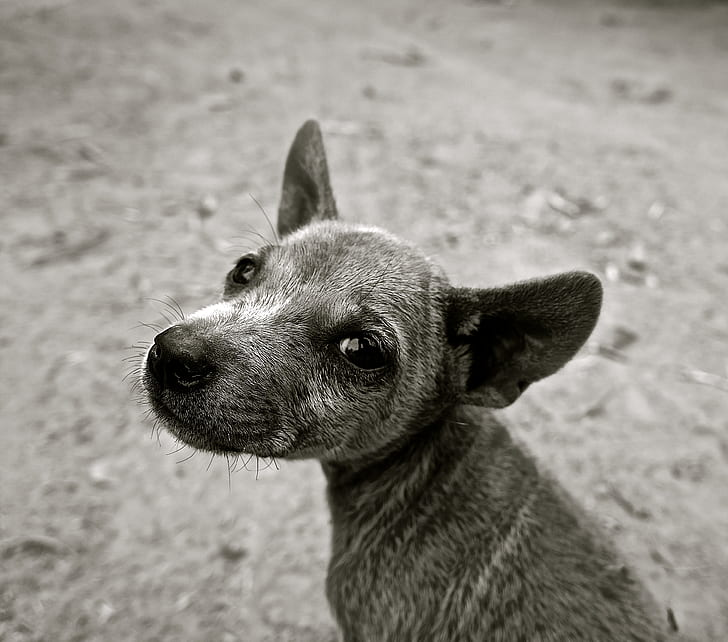 grayscale photo of short-coated puppy