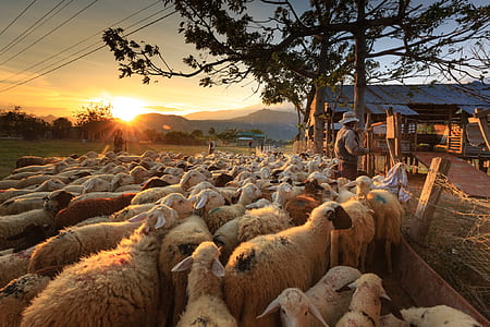 group of sheep under orange sunset