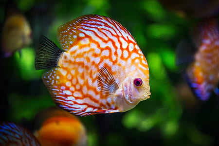 orange and white discus fish