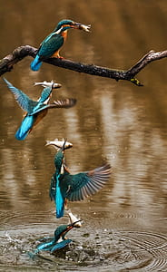kingfisher, bird, alcedo atthis, winged, animal, feathered