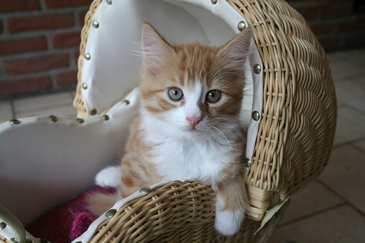white and orange Tabby kitten on brown wicker pet bed