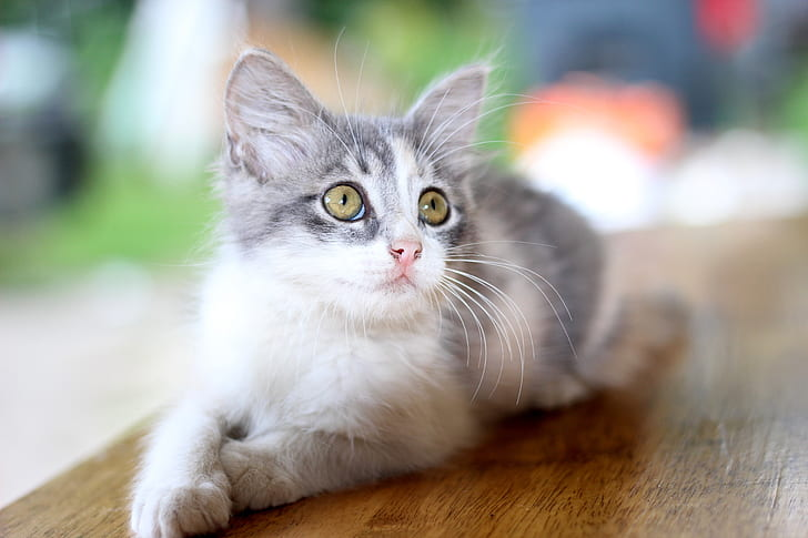 brown tabby kitten on table