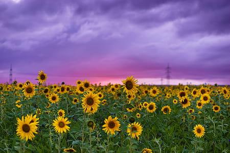 field of sunflowers under purple clouds