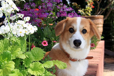 short-coated brown and white dog near flowers