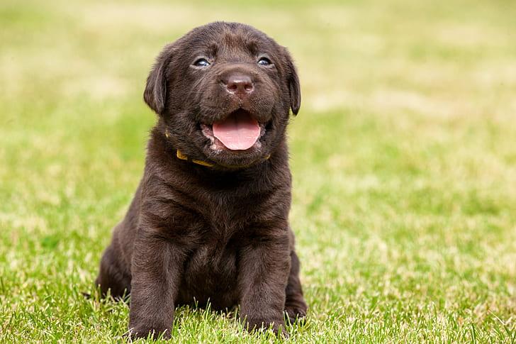 brown short-coat puppy sitting on green grass