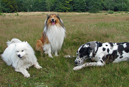 harlequin great dane, brown and white rough collie and white American eskimo on green grass during daytime