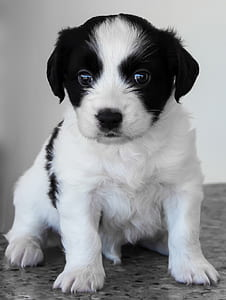 medium-coated white and black puppy