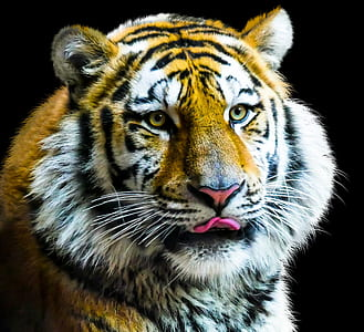 closeup photography bengal tiger