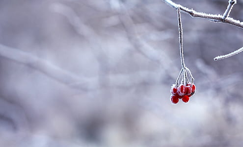 focus photography of red berries