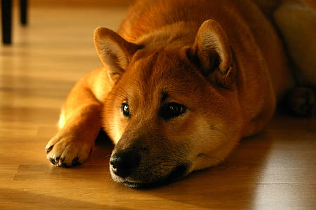 adult brown dog laying on brown wooden flooring