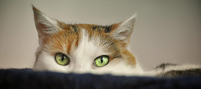 green-eyed brown and white cat