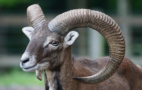 close up photo of brown ram