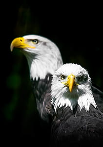Shallow Focus Photo of Two White-and-black Bald Eagles