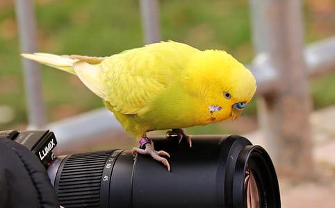 yellow parakeet on top of black Lumix DSLR camera