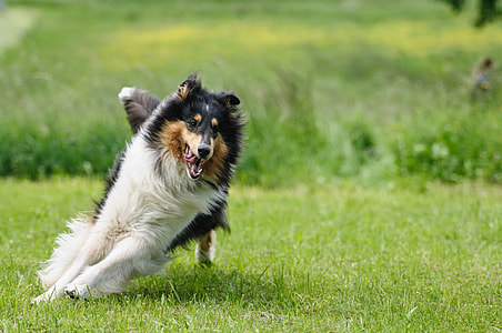 tricolor Rough collie running on green grass lawn