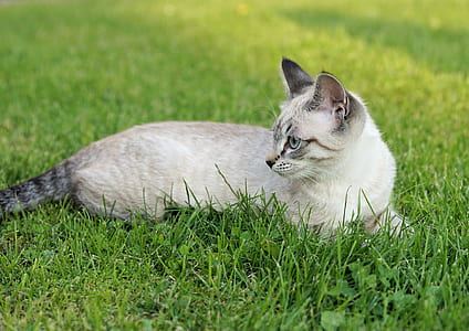 short-coated white and black cat laying on the grass